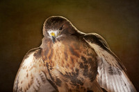 Africa - The Broad Winged Hawk (wing flare)