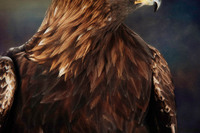 Golden Eagle's Chest