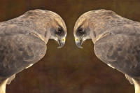 Goshawk Mirroed