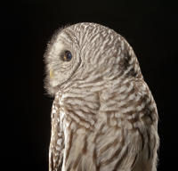 Teddy The Barred Owl